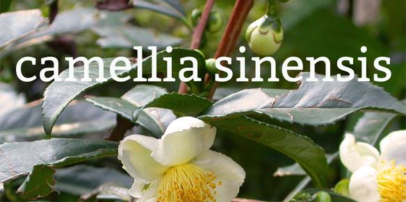 cong-dung-cua-camellia-sinensis-chiet-xuat-tinh-chat-tra-xanh-voi-da-la-gi