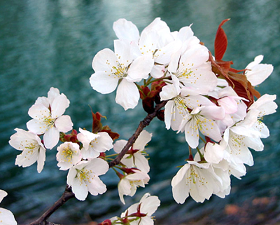 Bàn về chiết xuất hoa Anh Đào Nhật Bản Prunus Yedoensis Leaf Extract