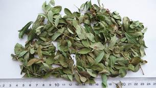 Arctostaphylos Uva-Ursi Leaf Extract